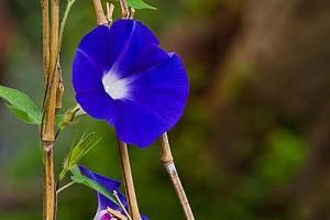 青い朝顔の画像