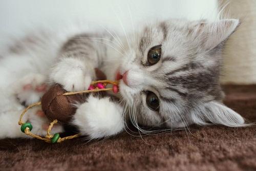 遊ぶ猫の画像